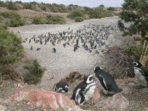 Penguin colony outside of Punta Tombo