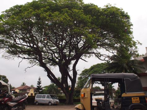 The magnificent rain trees of Fort Kochi that charm foreign visitors, had their affect on me too!